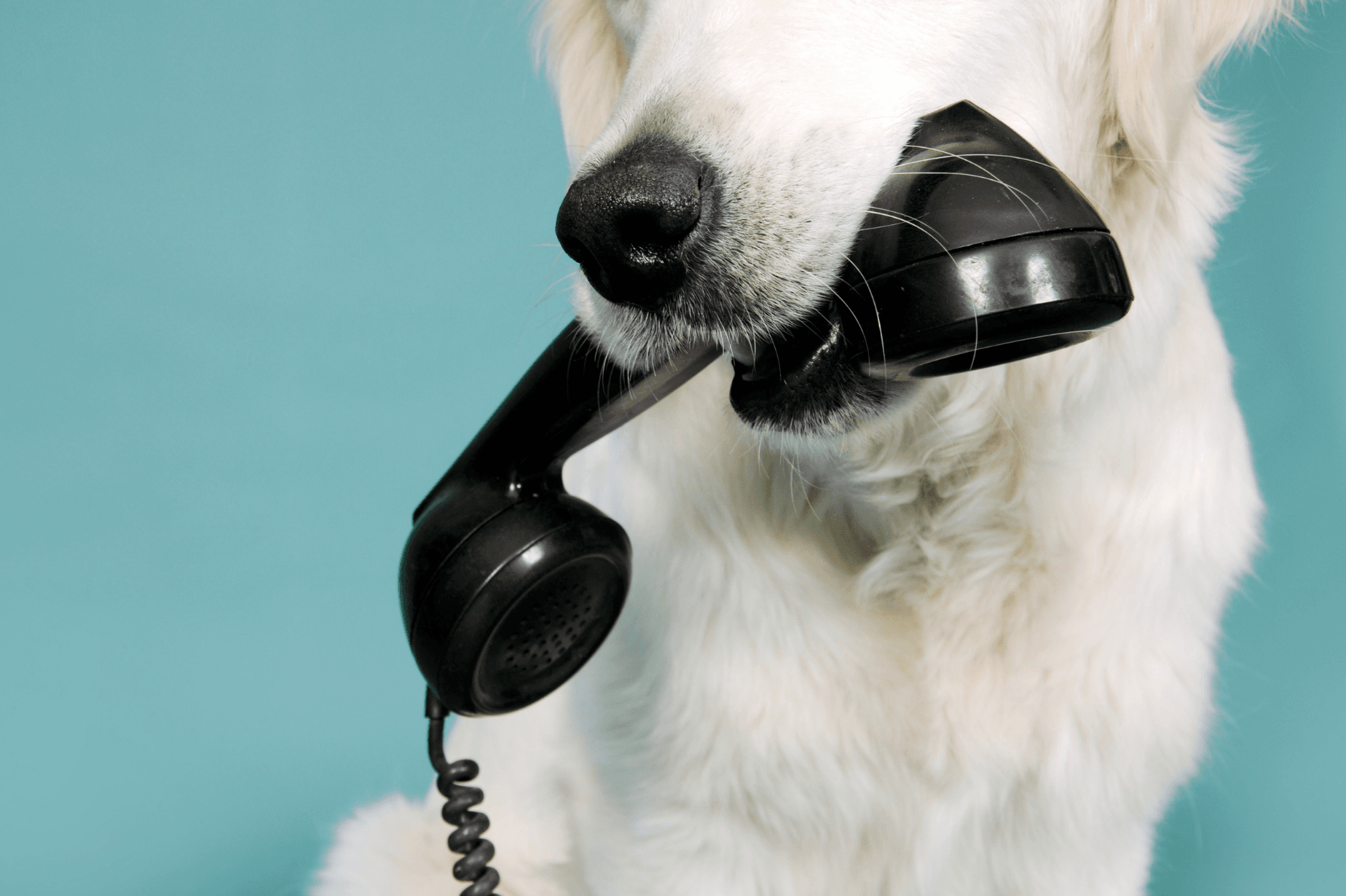 Dog with white fur holding a black phone